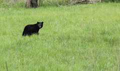 Black Bear (L. DiLallo) Tags: bear animals forest tennessee wildlife blackbear greatsmokymountains greatsmokymountainnationalpark
