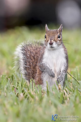 Standing Squirrel (Kenneth Keifer) Tags: park wild cute nature grass animal fur mammal rodent furry squirrel feeding little critter wildlife tail small lawn ground whiskers bark cuddly stare creature rodentia graysquirrel greysquirrel bushy easterngraysquirrel botheyes eastergreysquirrell