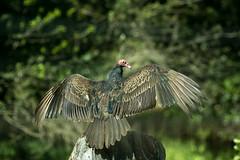 Sycamore Grove 4-17-16 (13) (tpbsr) Tags: birds owl april woodpeckers livermore turkeybuzzard lvcc sycamoregrove sycsmoregrove