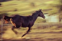 _DSC8855 (Izaias Lus) Tags: brasil caballos photography photographie cavalos equestrian equine nordeste chevaux equino haras equestre garanhunspe