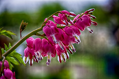 Bleeding Hearts.... (scorpion (13)) Tags: plant blur flower color nature garden spring heart blossoms creative bleeding photoart flaming planted