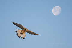 Cerncalo primilla (miguelangelortega) Tags: sky naturaleza moon nature flight luna ave cielo vuelo rapaz falconidae falconaummani aveenvuelo cerncaloprimilla etxebelatza xoriguerpetit leeserkretel largarteirodastorres