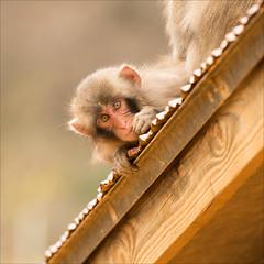kyoto-1035-ps-w (pw-pix) Tags: japan monkey kyoto funny sitting good arashiyama amusing lookingdown crouching macaque snowmonkey ontheroof babymonkey iwatayamamonkeypark mountarashiyama babymonkeyanditsmum