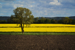 colours stripes (C-Smooth) Tags: sky tree rural landscape stripes rapeseed