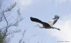 _DSC0421 (chris30300) Tags: france heron de pont parc oiseau camargue gau saintesmariesdelamer flamant provencealpesctedazur ornithologique