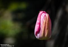 Tulip (Aaron Miller Photo) Tags: park uk flower colour nature natural god south sheffield yorkshire tulip growing flikr barnsley rotherham doncaster elsecar southyorks