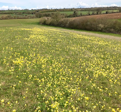 Cowslips (zanypurr) Tags: field spring meadow hedge wildflowers odc cowslips toomanytocount