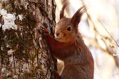 (evisdotter) Tags: cute nature squirrel bokeh ekorre sooc