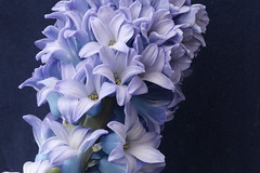 BLUE HYACINTH (pearl.winch) Tags: macro birthdayflowers bluehyacinth 1534 sooc karensteve 28thmarch2016