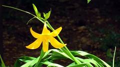 IMG_7624 -  fiore di campo (molovate poco presente) Tags: verde canon is maria powershot campagna erba giallo campo hs flk siepe sx40 evola volate tafme molovate