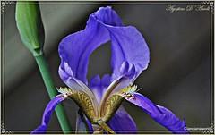 Iris o giaggiolo - Aprile-2016 (agostinodascoli) Tags: iris macro texture primavera nature nikon fiori nikkor aprile sicilia giaggiolo cianciana