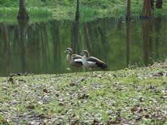 Ballett (mkorsakov) Tags: lake reflection green see grn spiegelung dortmund gnse einbeinig rombergpark brnninghausen