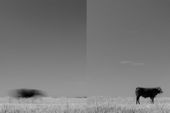 290416-1-3 (chrisfriel) Tags: cow bull friel