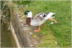 Stretchen (HP010360) (Hetwie) Tags: bird nature duck natuur eend vogel stretchen brouwhuis