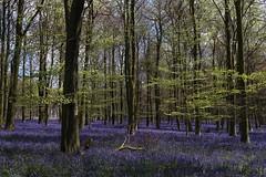 King's Wood, Challock (NovemberAlex) Tags: trees colour nature bluebells kent challock