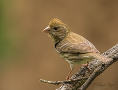 House Finch or Purple Finch (AVo Images) Tags: wildlife finch housefinch purplefinch backyardbirding