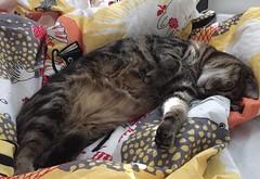 En djupt sovande katt som drömmer något. (ulricalyhnakis) Tags:
