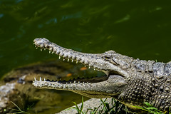 The Invincible Jaws!! (Bipul Matta) Tags: wild nature animal dangerous reptile wildlife crocodile jaws croc carnivorous deadly teeths invincible naturalhabitat