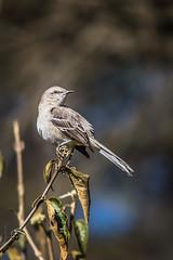 Birdie (Wade Brooks) Tags: winter bird jan dukegardens 2016 birdphotography mockingjay winterdukegardens