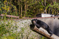 Sun Bear (Tracysniche) Tags: california bear sun black west animal cali fur asian zoo oakland bay coast bamboo east area norcal malaysian tanning thick