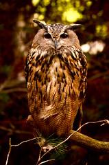 Bubo (nic_r) Tags: bird raptor owl birdofprey eurasianeagleowl bubobubo eagleowl europeaneagleowl highlandwildlifepark