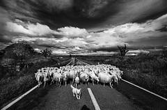On the Road_FCi_1 (GT Art Photo Agency) Tags: road sardegna street nuvole sheep herd ontheroad francesco pecore cito gregge sedilo francescocito gtart