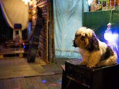 P1143260 (tatsuya.fukata) Tags: dog animal bar thailand buri samutprakan