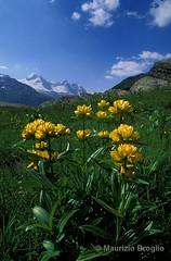 Meyes 03 (maurizio.broglio) Tags: parco gran paradiso gentiana nazionale delle vallone punctata valsavarenche meyes