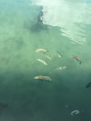 Fish feeding at the pier (many tomatoes) Tags: wedding kohsamui lemeridien destinationwedding jjkohsamui chanrho2016