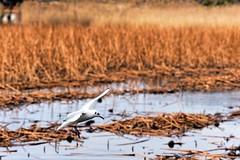 Dove (Matthias Harbers) Tags: life park city lake bird nature water animal japan photoshop tokyo flying pond nikon ueno dove elements labs d750 dxo dslr uenopark topaz micronikkor afd f4556 70180mm nikond750 nikon70180mmf4556afdmicronikkor