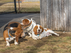 IMG_6164 (BFDfoster_dad) Tags: hound basset