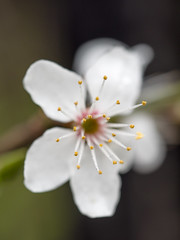 Early blossom (James E. Petts) Tags: flowers white flower london blossom centralpark eastham