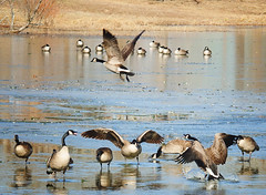 geese (crysmarie405) Tags: lake cold bird ice nature animals outdoors fly geese nikon nikond7000