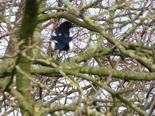 Chester Road, Daresbury - Magpie