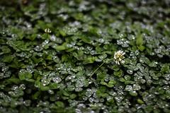 Tajimara, Coatepec, 2015 (Cristina Inchustegui Massieu ) Tags: naturaleza macro verde green nature rain mxico canon mexico lluvia bokeh depthoffield raindrops canondslr canoneos coatepec tajimara