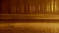 """Beautiful and proud.... (Marie.L.Manzor) Tags: trees sun mist lake water silhouette fog backlight forest sunrise landscape swan nikon nikkor marielmanzor nikon610"