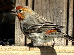 Feb4,2016 067 House Finch (terrygray) Tags: finch