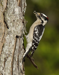 Downy Woodpecker, male (AllHarts) Tags: ngc npc memphistn backyardbirds avianexcellence maledownywoodpecker naturescarousel