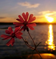 Summer Memories (maya the viking_girl) Tags: flowers sunset sea summer sky sun flower reflection beach nature water silhouette norway rocks colorful dof bokeh outdoor peaceful tranquility debthoffield