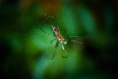 cena de araa (Jose Yonoestudifotografa Ruiz) Tags: macro verde green insect spider eating guatemala araa comiendo insecto huerto leucauge venusta leucaugevenusta