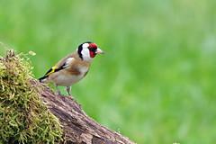 Domaine des oiseaux (Mazres/Arige) (PierreG_09) Tags: ap oiseau faune arige cardueliscarduelis europeangoldfinch ddo chardonneretlgant mazres fringillids passriformes domainedesoiseaux