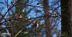 _DSF1213-Edit (neech_2000) Tags: winter snow birds seasons hunger hungry survival struggle songbirds