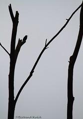 L'empreur des cimes (bertrand kulik) Tags: sky ciel oiseau contrejour birdtree