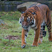 Sumatran Tiger 2015-12-17-00039