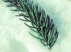 Spruce Sprig (karma (Karen)) Tags: snow macro texture home maryland baltimore blizzard spruce 4winter sprig