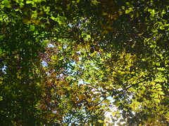 Bltterbaldachin (Jrg Paul Kaspari) Tags: red green rot leaves leaf grn luxembourg blatt bltter fagus buche sylvatica bltterdach blutbuche rotgrn fagussylvaticafpurpurea bltterbaldachin