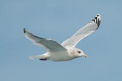 White Gull (martytdx) Tags: birds adult lifelist gull nj february atlanticocean larus pelagic laridae winterplumage larusglaucoides pelagictrip larusglaucoideskumlieni icelandgullkumliens paulagic gullkumliensicelandgull