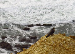 beautiful peregrine falcon at point vicente (9) (gskipperii) Tags: ocean water beautiful animal fauna dark pretty waves wildlife gorgeous tide pacificocean raptor falcon oceanview pv regal peregrine stately palosverdes darkmorph pointvicente rpv