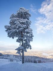 The winter tree (Explore 2016-01-29) (nillamaria) Tags: winter sun snow tree sol vinter january snö träd januari winterday vinterdag sollefteå hallstaberget