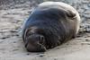 Elephant Seal at Año Nuevo State Park-7970 (马嘉因 / Jiayin Ma) Tags: california park elephant beach water 1 sand state wave route seal año ano nuevo seaocean